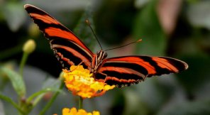 Red Buterfly